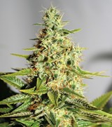 Acapulco Gold Feminised - Barney's Farm