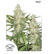 Dutch Passion Outlaw Feminized