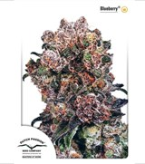 Dutch Passion Seeds Blueberry
