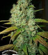 Power Plant - Dutch Passion