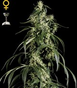 Green House Arjans Haze 1#