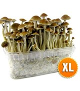 XL size McKennaii All in One Growkit
