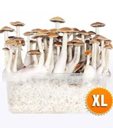 XL size Mexican Growkit
