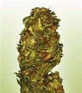 Power Seeds Big Bud