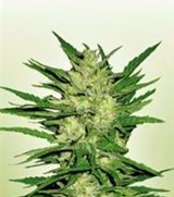 Power Seeds California Orange Bud