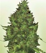 Power Seeds Citral