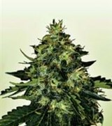 Power Seeds K2