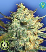 Power Seeds Power Skunk Feminized