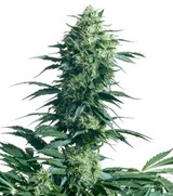 Sensi Seeds Mother's finest