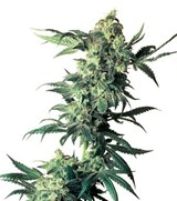 Sensi Seeds Nothern Lights