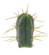 Trichocereus bridgesii cutting