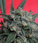 T.H. Seeds Feminized A-TRAIN