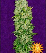 Bonguru Seeds Goofy Grape