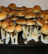 Psilocybe cubensis Golden Teacher Print or Syringe