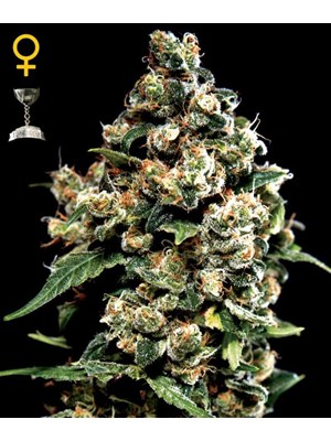Green House Jack Herer
