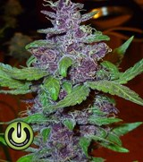 Power Seeds Purple Force