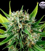 Dinafem Feminized Royal Haze