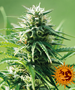Cannabis_Seeds_Barneys_Sweet_Tooth_01.png Barneys Farm - Sweet Tooth